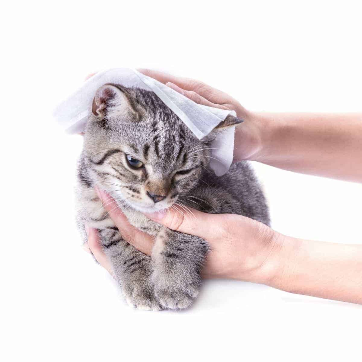 Close-up of hands holding and wiping a cat.