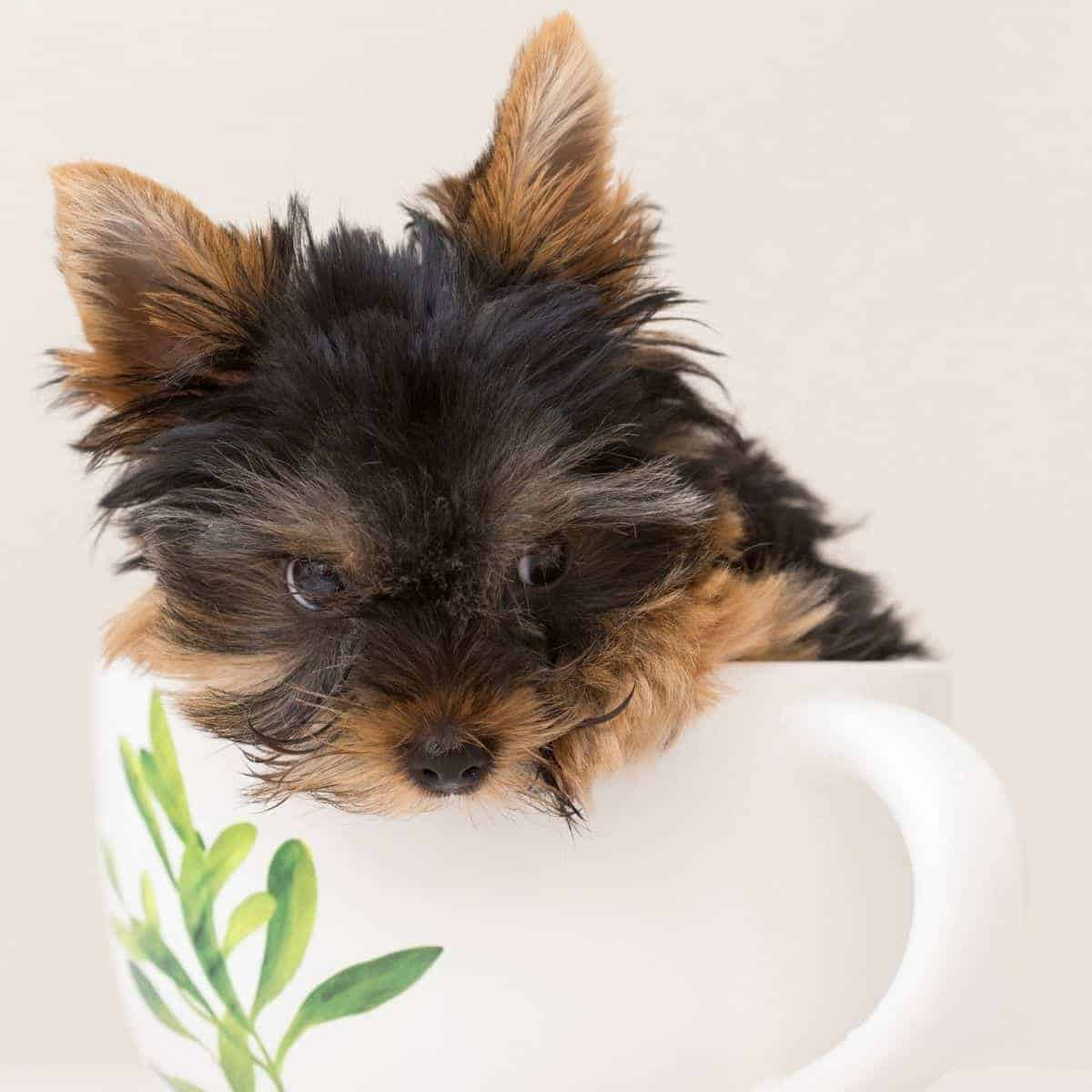 Small brown and black dog in a mug.