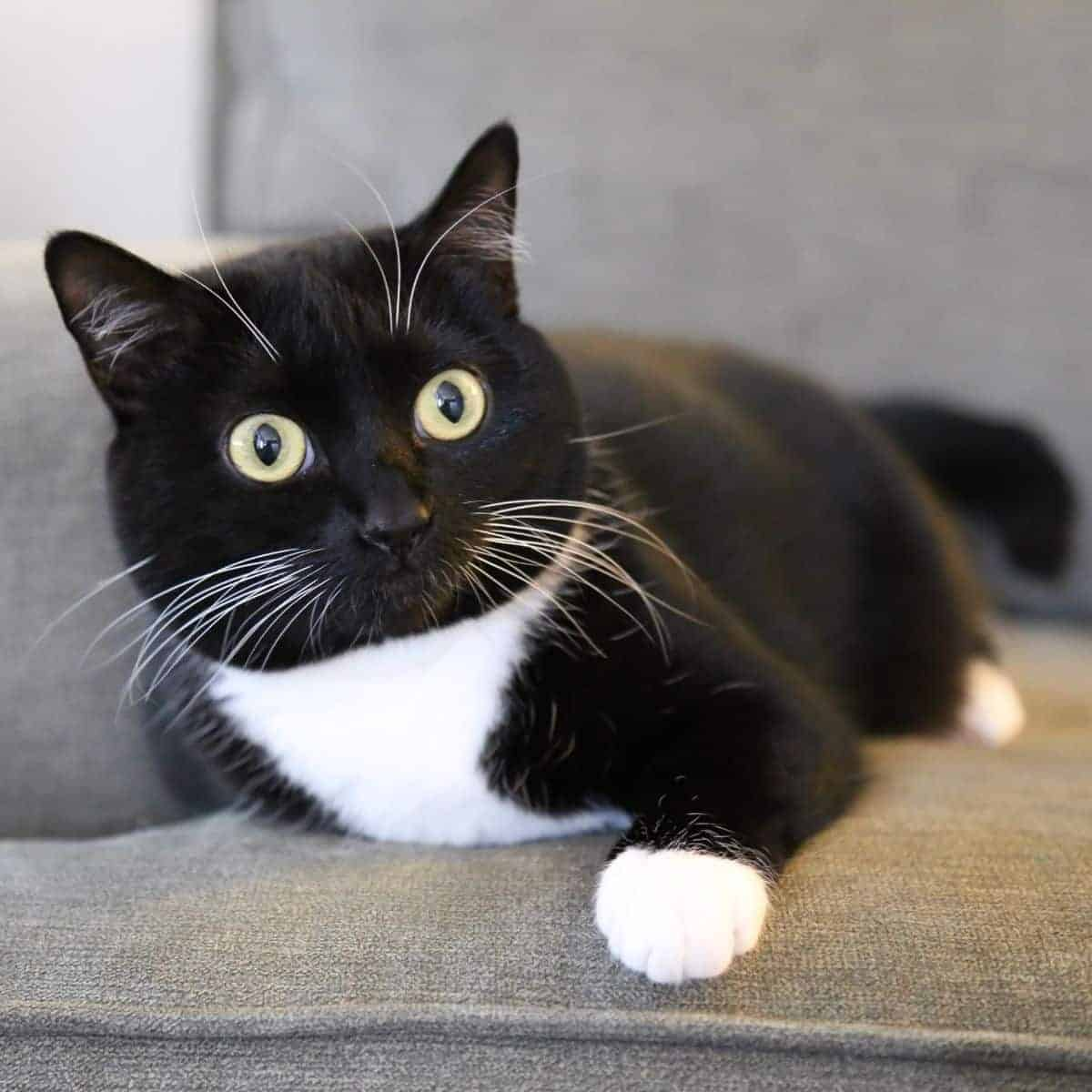 Tuxedo cat laying on a couch.