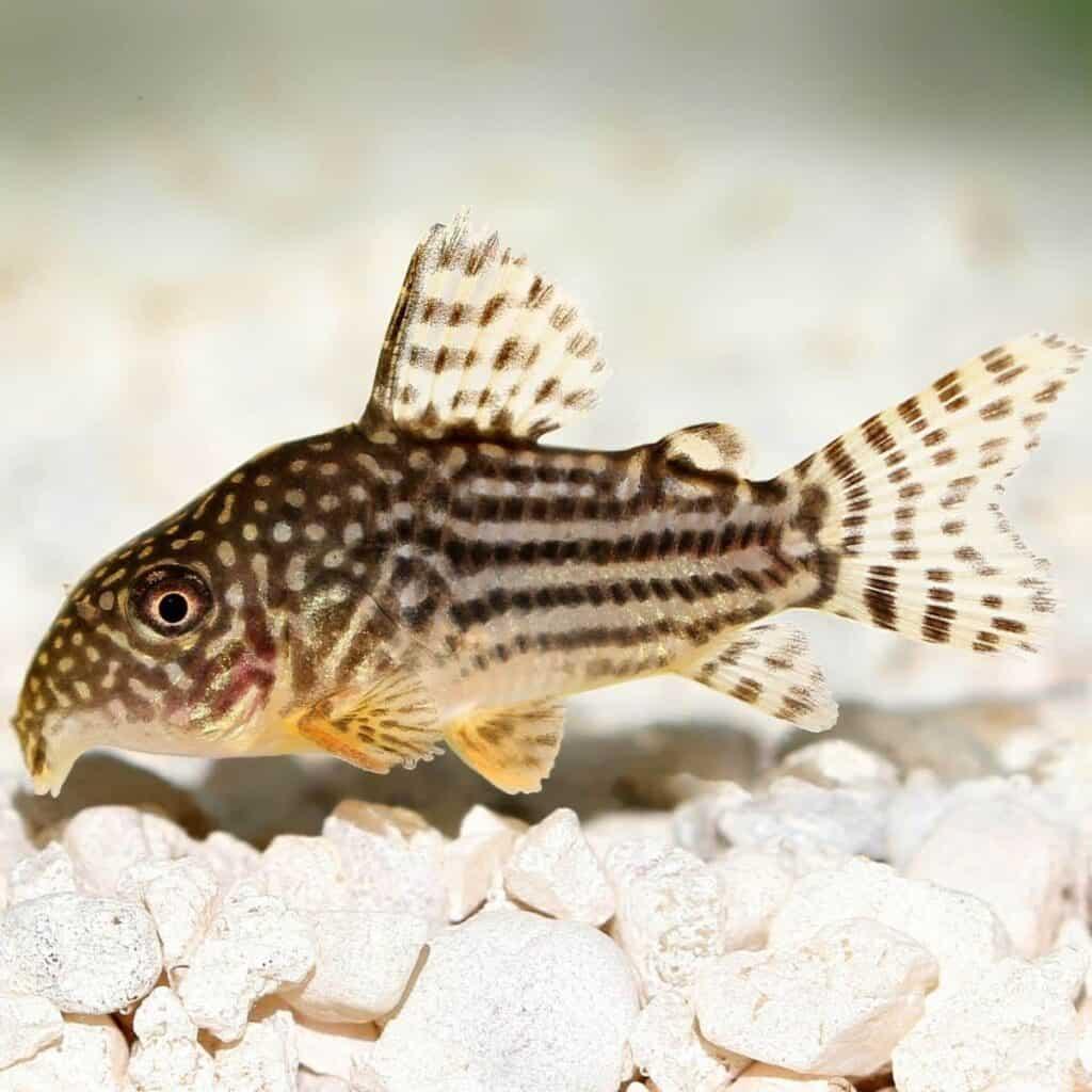 Cory catfish above rocks in a tank.
