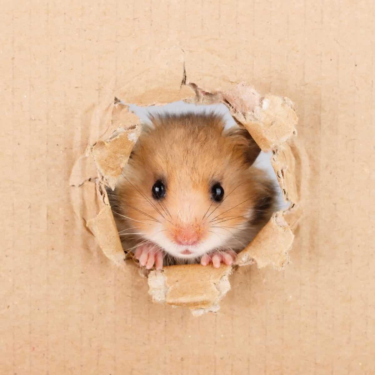 Hamster peeking through a hole in cardboard.