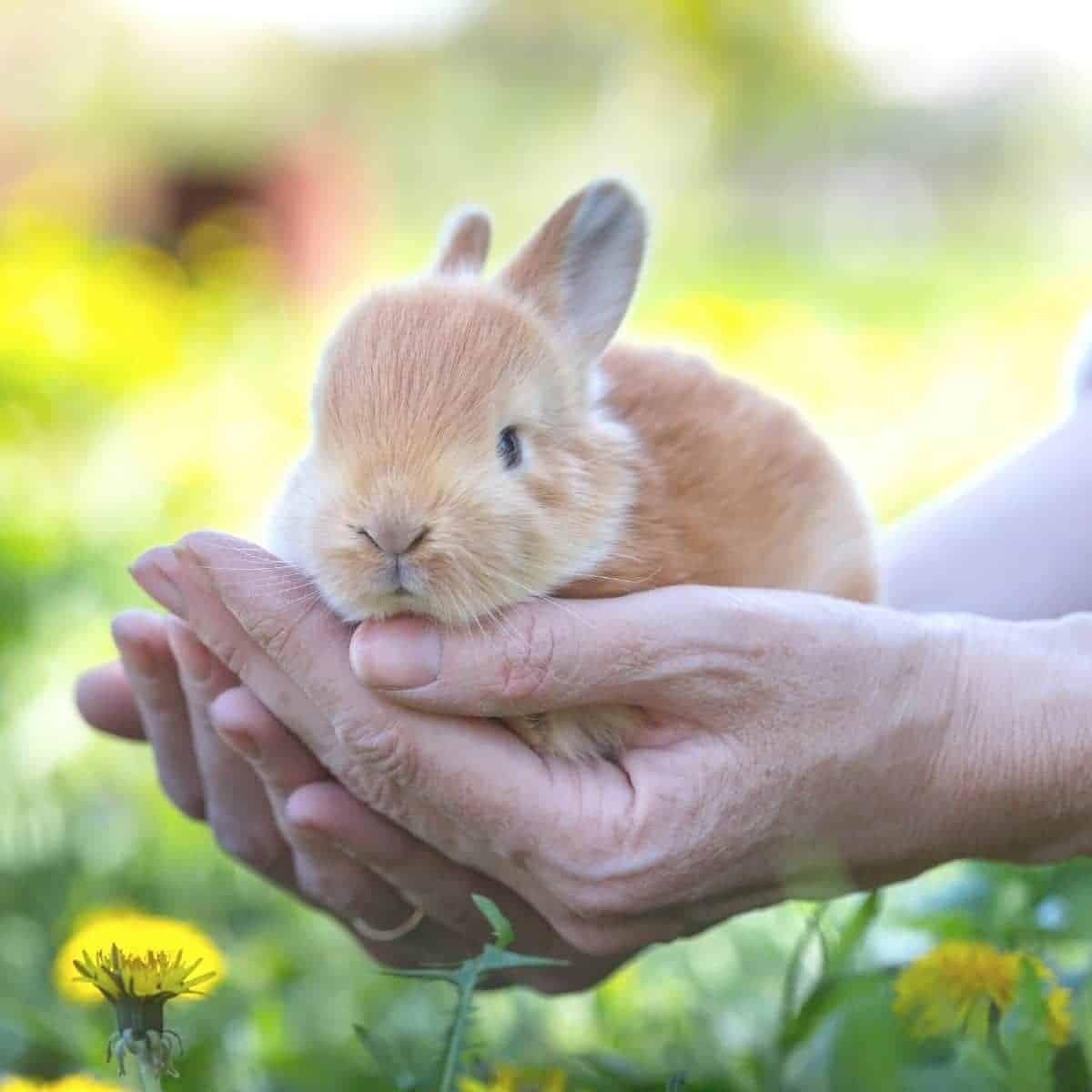 Close-up of rabbit in a person's hands.