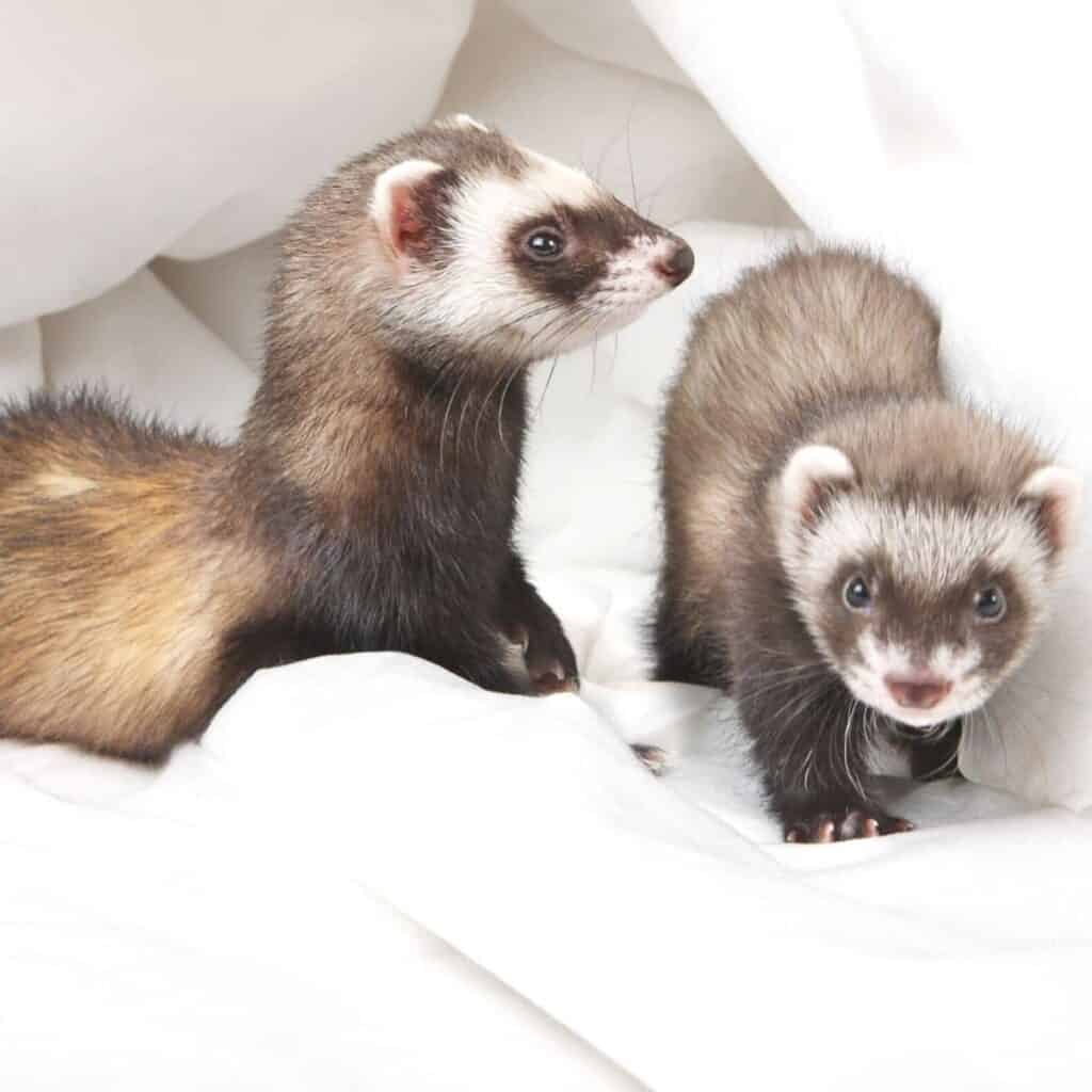 Two ferrets on a fabric cloth.