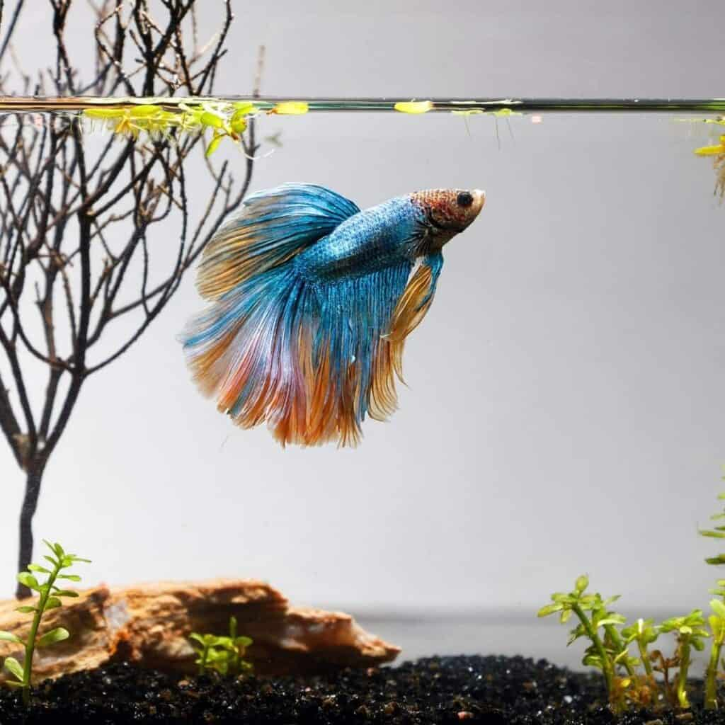 Betta fish in a tank with water plants.