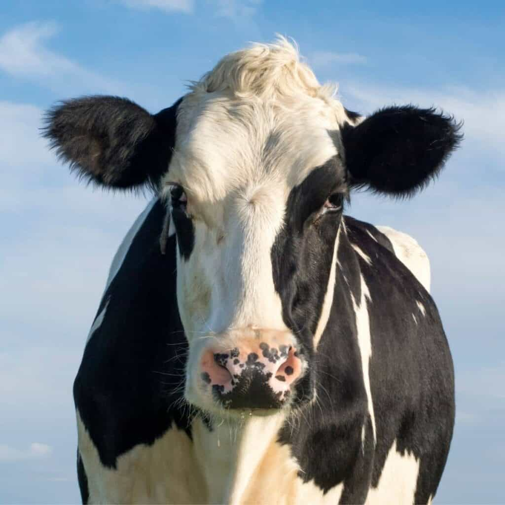 Front of a black and white cow.