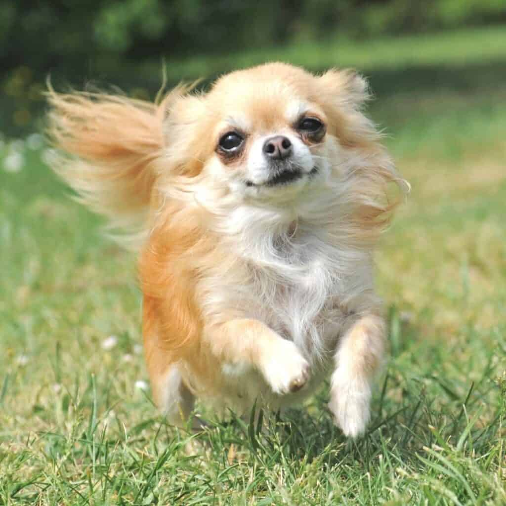 Chihuahua running in a grass field.