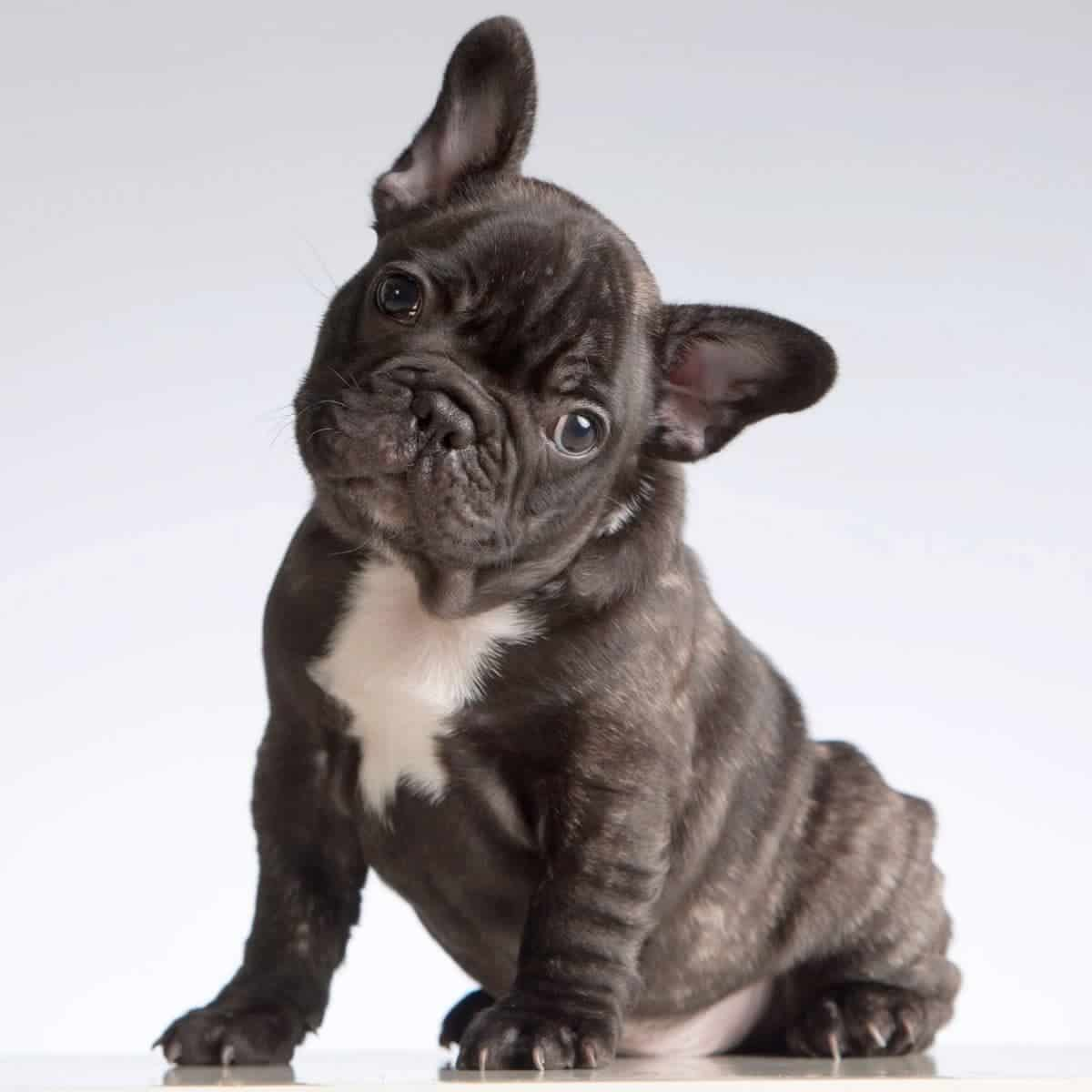 French Bulldog sitting and tilting its head.