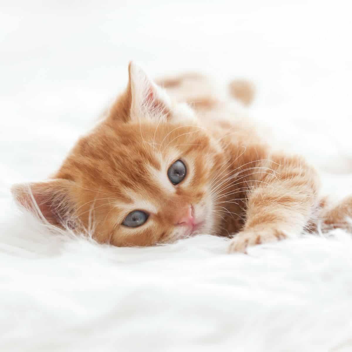 Orange kitten laying on a white fur blanket.