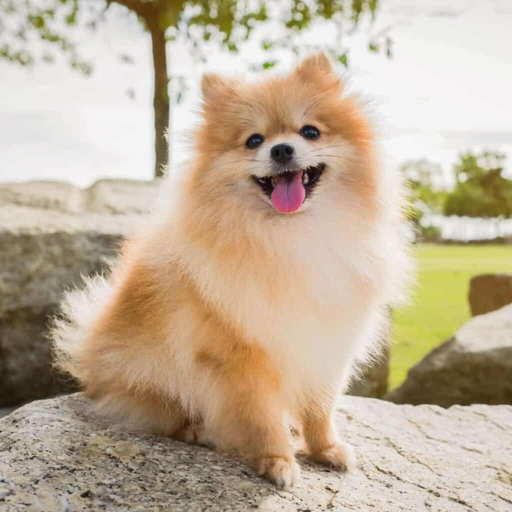 Pomeranian sitting on a rock.