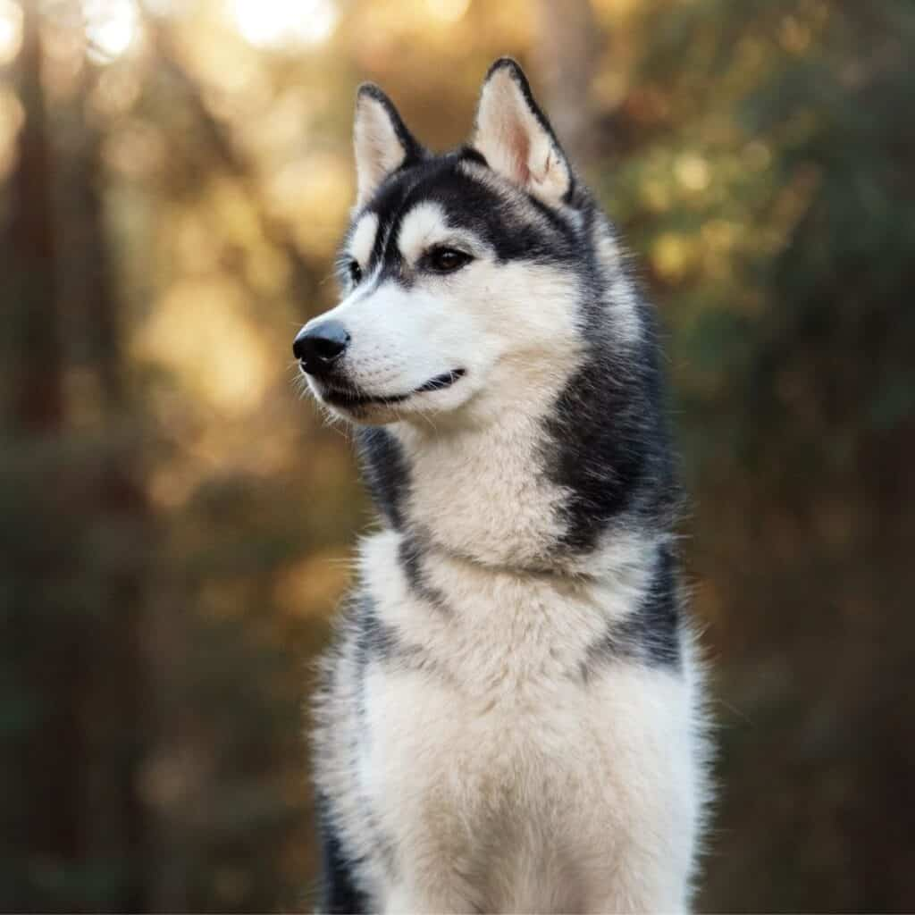 Selective focus on a Siberian Husky looking to the side.