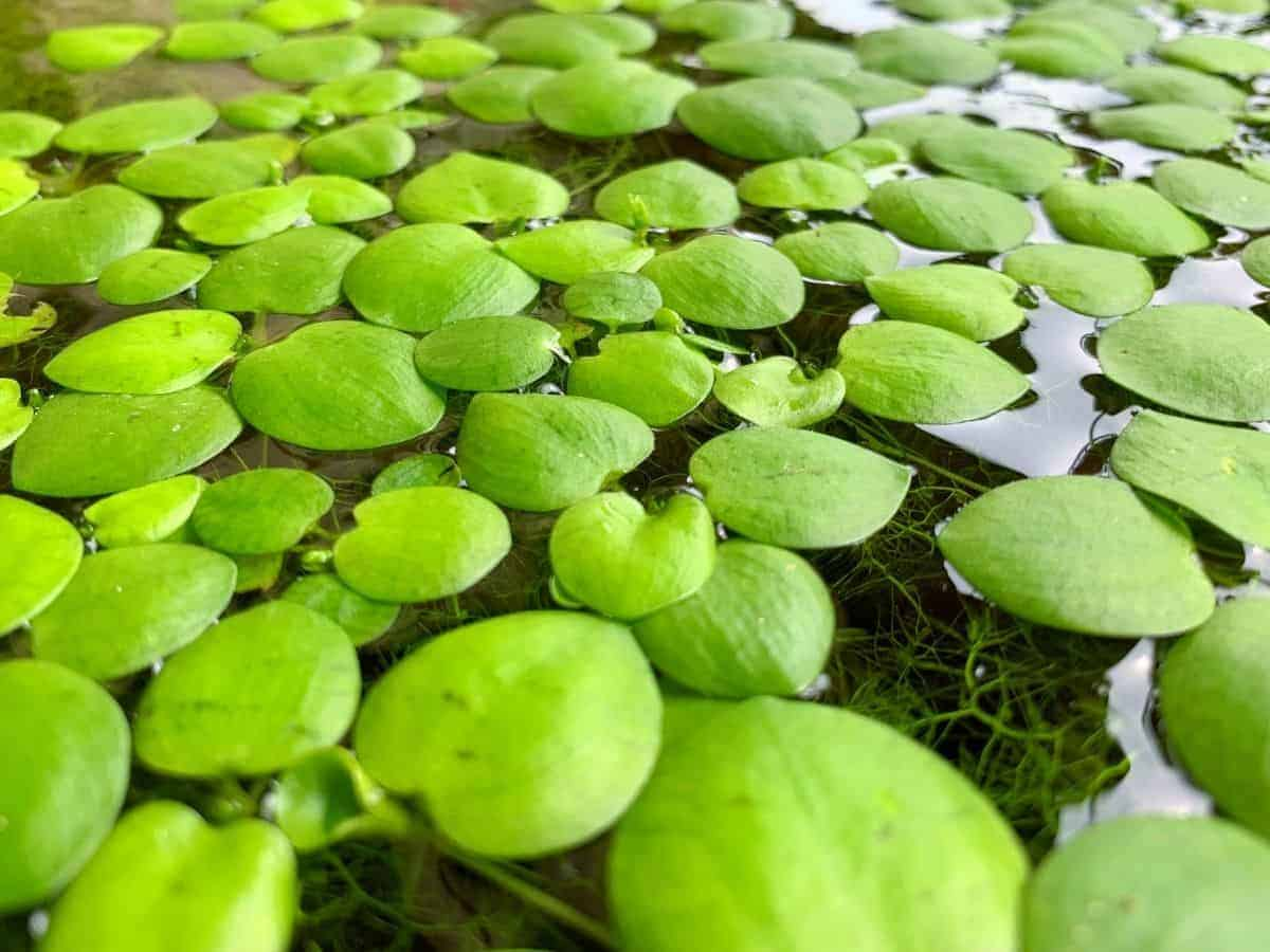 Amazon Frogbit on the water surface.