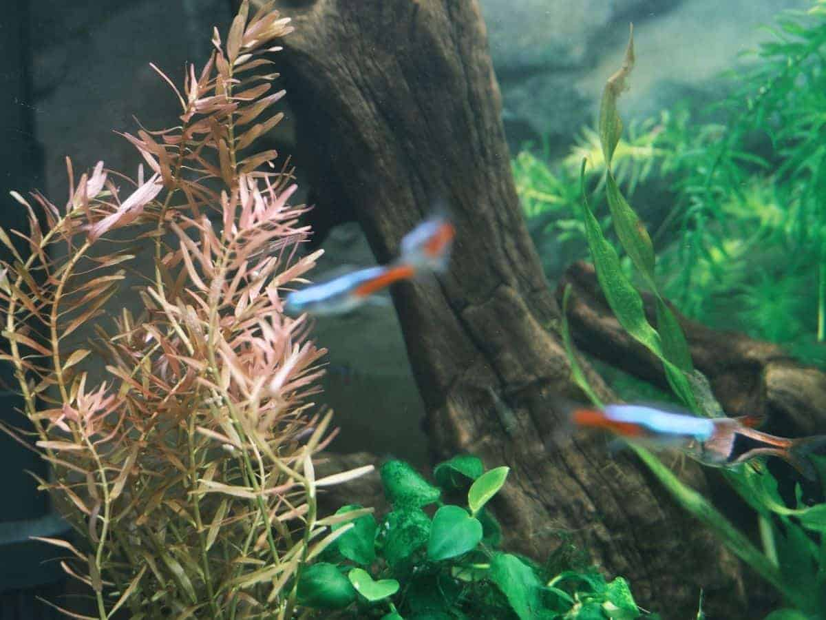 Rotala indica in an aquarium with fish swimming.